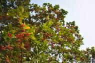 铁冬青植物图片(2张)