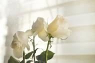 白色的玫瑰图片(9张)