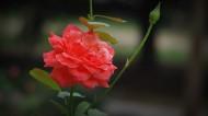 月季花摄影图片(6张)