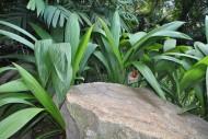 大叶仙茅植物图片(1张)