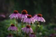 松果菊图片(12张)