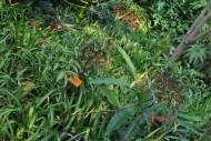 朱砂根植物图片(2张)