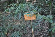 鸭脚木植物图片(2张)