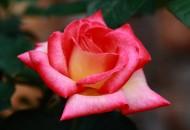 娇艳玫瑰花卉图片(19张)