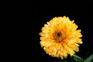 黄色的小菊花图片(20张)