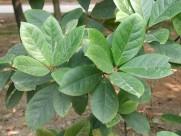 阿丁枫植物图片(6张)