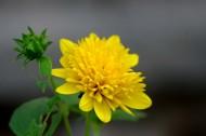 黄色的菊花图片(6张)