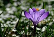 番红花图片(10张)