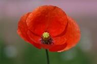 美艳红色罂粟花图片(18张)