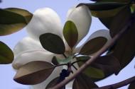 白色广玉兰图片(5张)