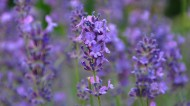 紫色薰衣草图片(22张)