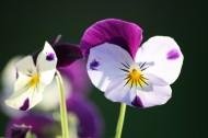 美丽的三色堇图片(10张)
