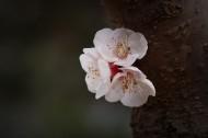 洁白的杏花图片(10张)