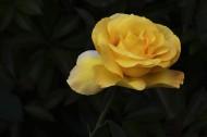 娇艳的月季花图片(18张)