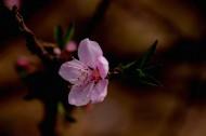 粉红色桃花图片(12张)
