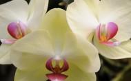 蝴蝶兰花卉图片(12张)
