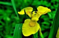 黄色鸢尾图片(9张)