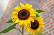 高清向日葵花图片(15张)