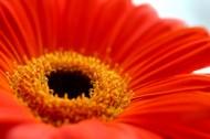 红色非洲菊花卉图片(7张)