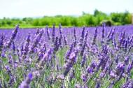 紫色的薰衣草花田图片(13张)