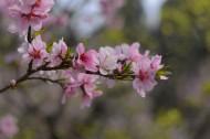 粉色的杏花图片(8张)