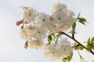 雪白樱花图片(8张)