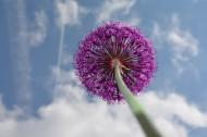 漂亮好看的紫色葱花图片(16张)