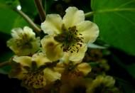 猕猴桃花图片(12张)