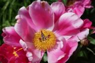 各种颜色的牡丹花图片(15张)
