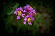 紫薇花图片 (11张)