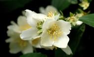 又香又白的茉莉花图片(13张)