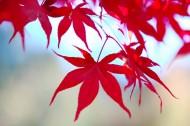 枫叶图片(23张)