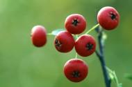 红红的火棘果图片(12张)