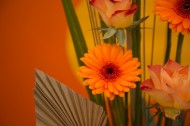 非洲菊图片(9张)
