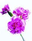 粉白色康乃馨图片(3张)