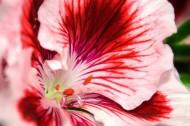 各种颜色的天竺葵图片(22张)