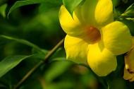 软枝黄婵花图片(11张)