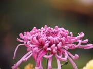 多姿多彩的菊花图片(17张)