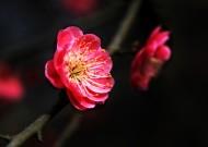 灿烂的梅花图片(10张)