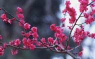 梅花盛开的图片(16张)