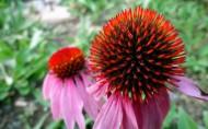松果菊花卉图片(12张)