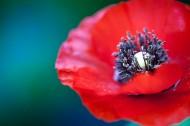 红色的罂粟花图片(13张)