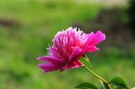 粉色的芍药花图片(22张)