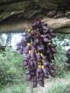 大果油麻藤植物图片(6张)