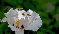 牡丹花图片(10张)