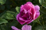 玫瑰花图片(15张)