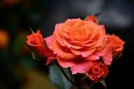 玫瑰花图片(6张)