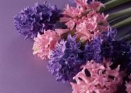 紫色花朵花瓣背景图片(7张)