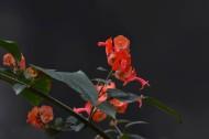 冬红花图片(6张)