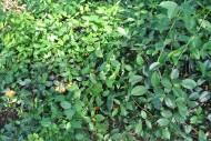 两面针植物图片(3张)